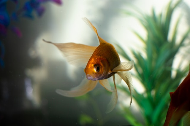 rving with pets goldfish